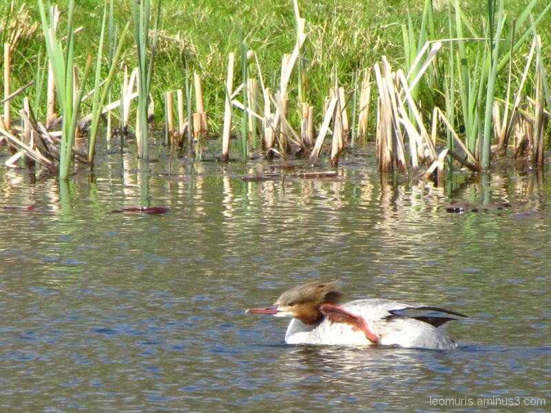 Lintu ui - The bird is swimming