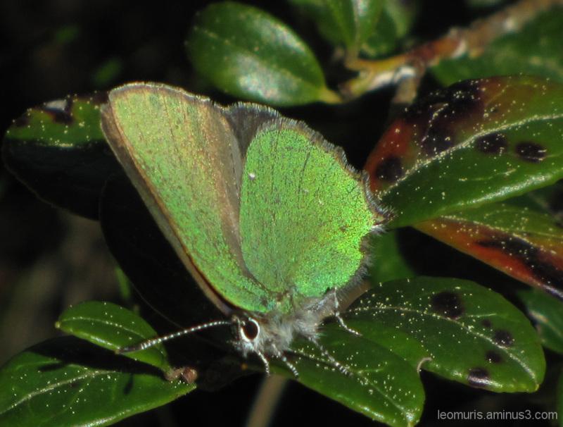 Perhonen puolukassa - Butterfly lingonberry.