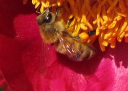 Kukka ja mehiläinen - Flower and bee