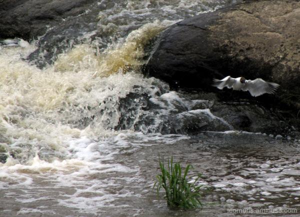 Naurulokki - Laughing Gull