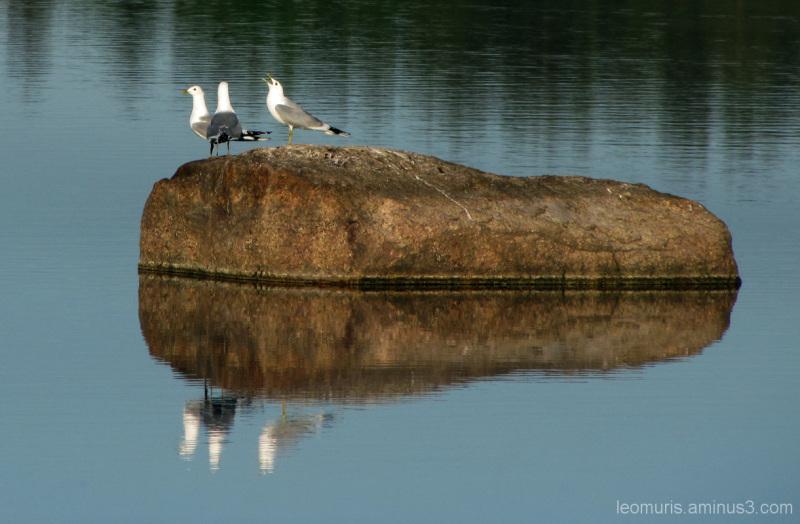 Kome lokkia - three gulls
