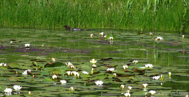 Lumpeet - water lilies