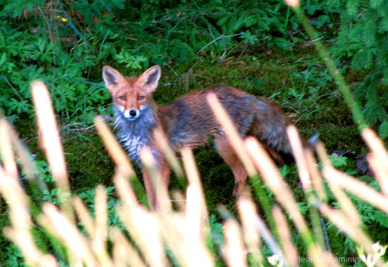 Märkä kettu - wet fox