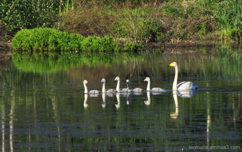 Joutsenia - Swans