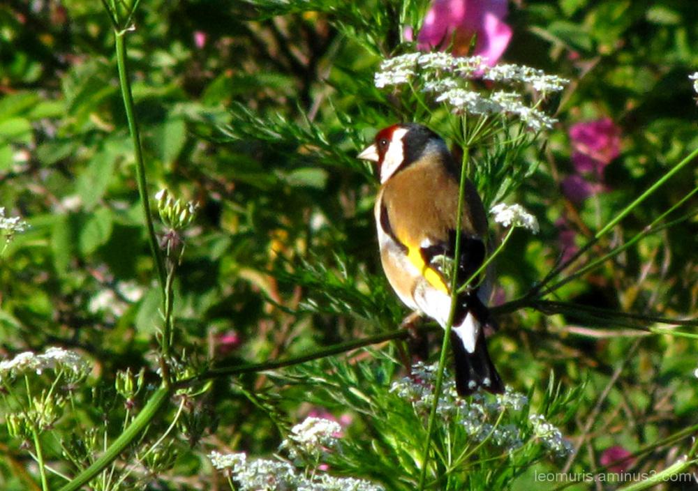 Tikli pensaassa - Goldfinch bush