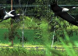 Kaksi kurkea - two cranes