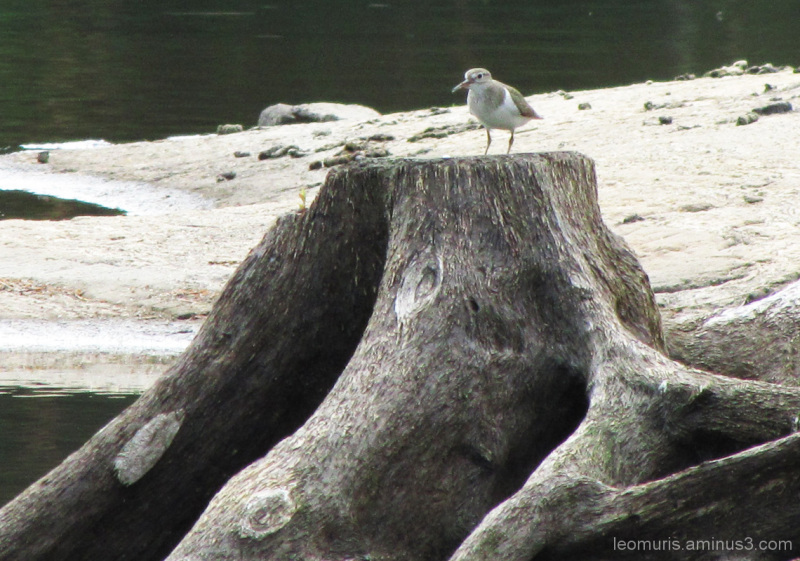 Lintu, bird, rantasipi, Common Sandpiper