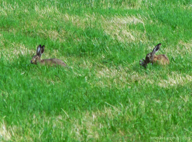 Kaksi jänistä - Two hares