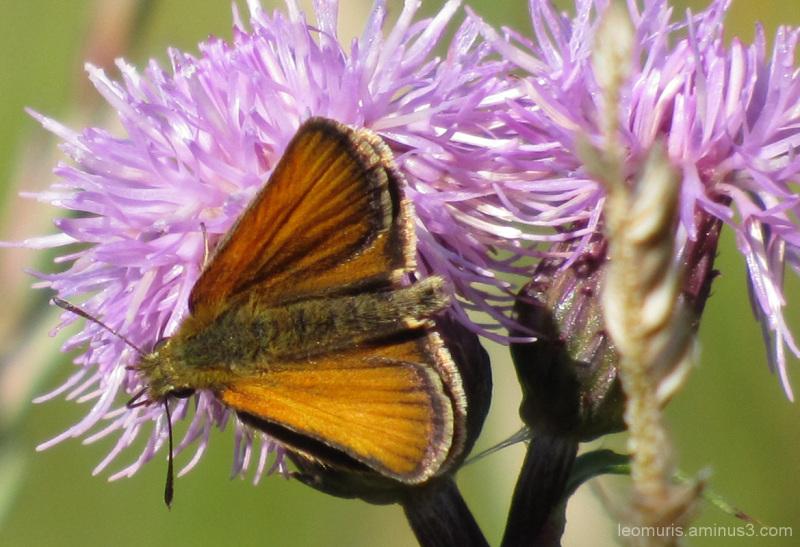 Perhonen - Butterfly