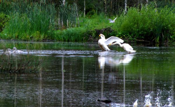Elämää lammella - Life in the ponds.