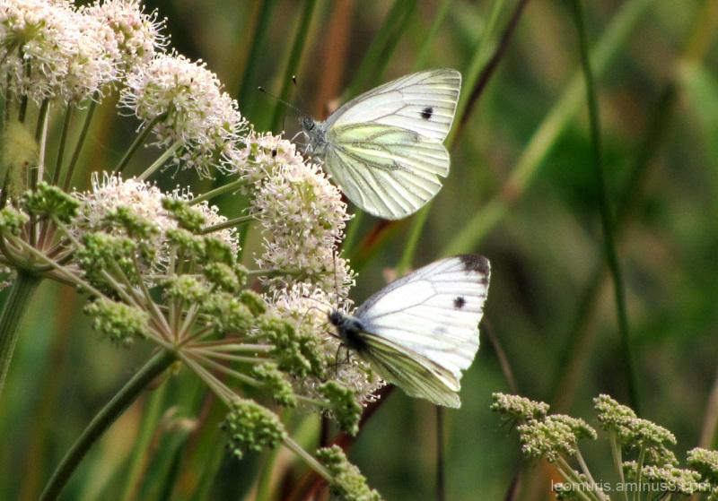 Kaksi perhosta - Two butterflies