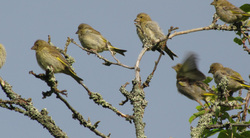 Lintuja- Bird
