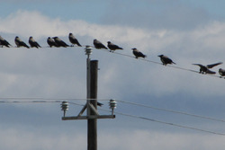 Tusina variksia -A dozen crows