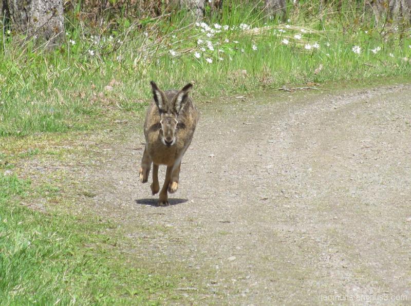 Jänis juoksee - Hare is rnning