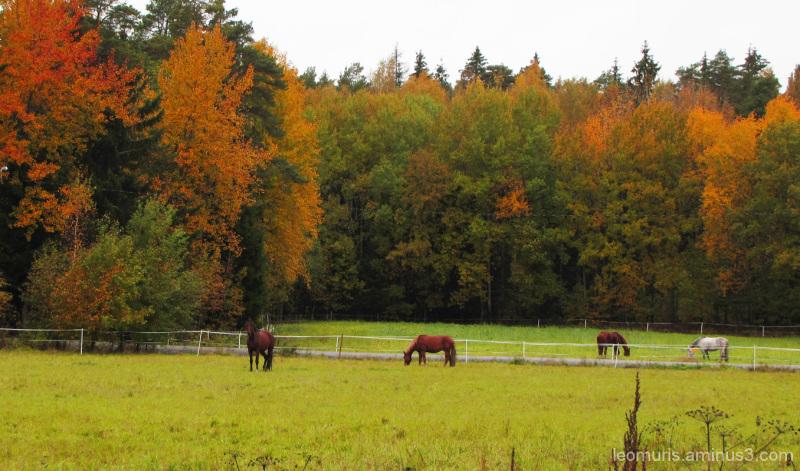 Hevosia laitumella - Horses on pasture.