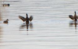Sorsia - Ducks