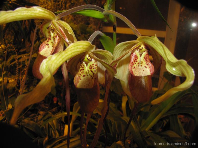 Kannukasvit - Pitcher Plants.