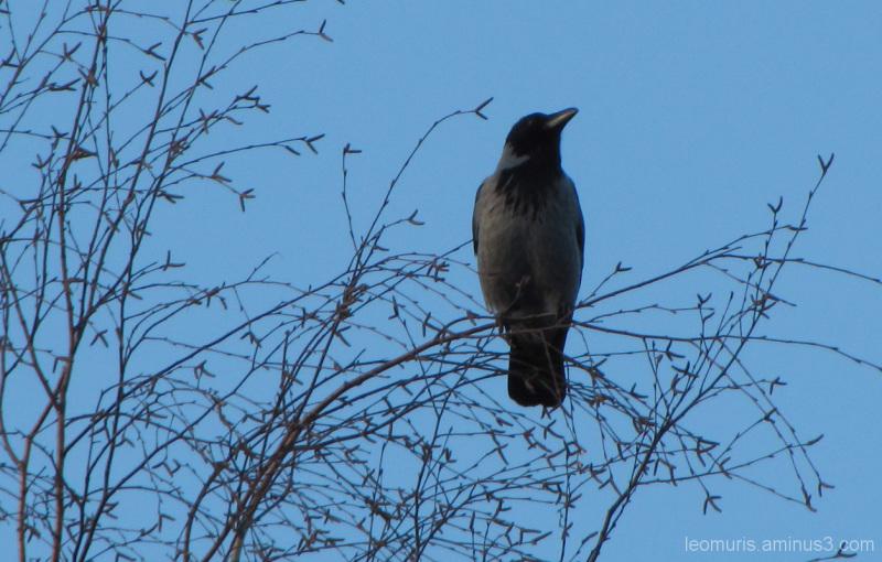 Varis puussa - The crow in the wood