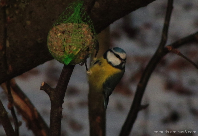 Pieni lintu - Little bird