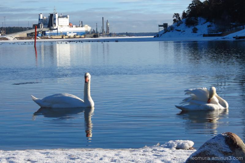 Joutsenet - Swans