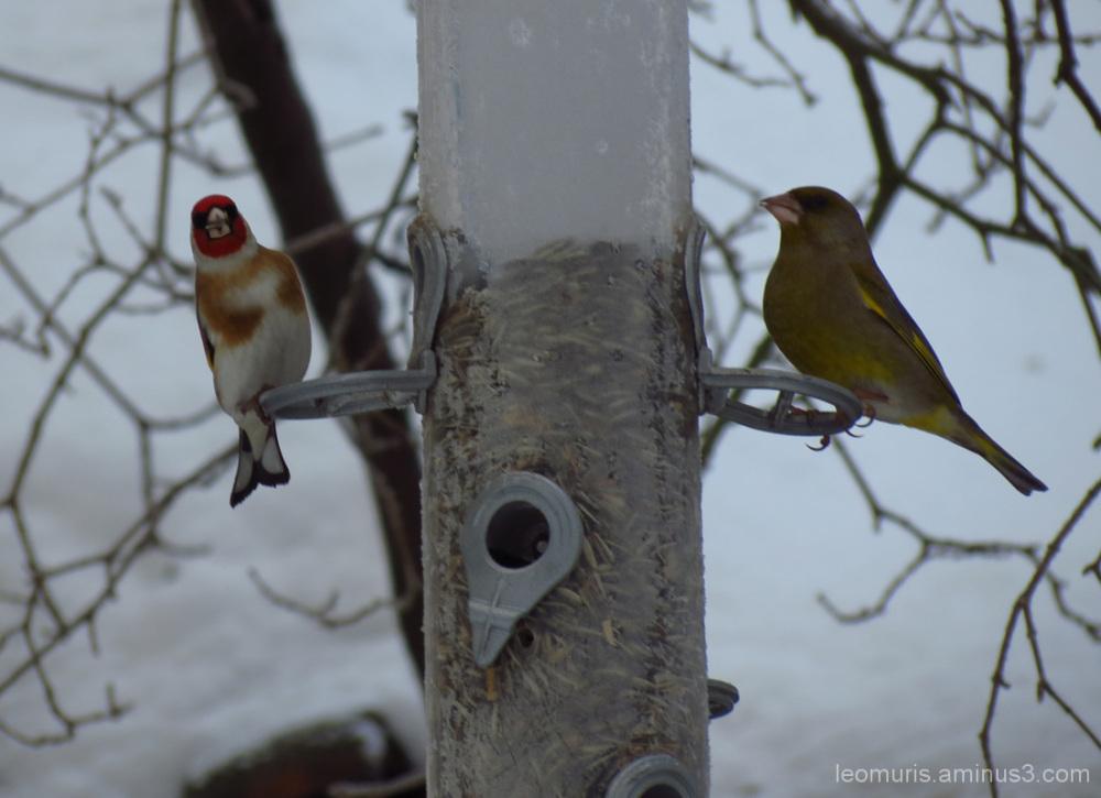 Kaksi lintua - two birds