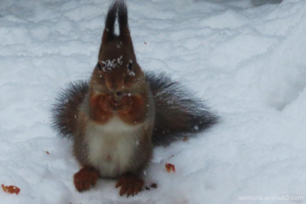Orava lumisateessa - The squirrel in snowy