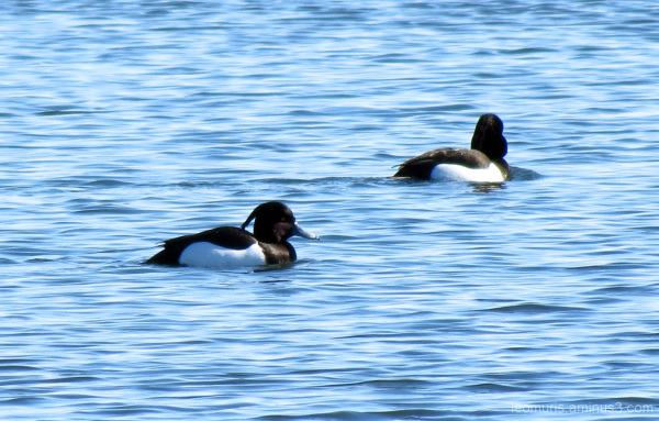 Tukkasotkat - Tufted Duck