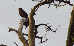 Blacbird