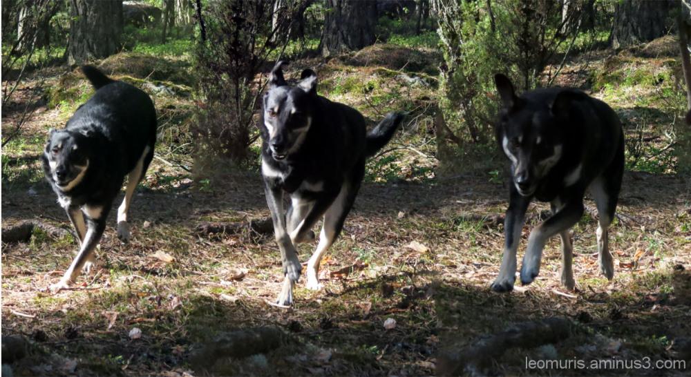 Juokseva koira - Running dog.