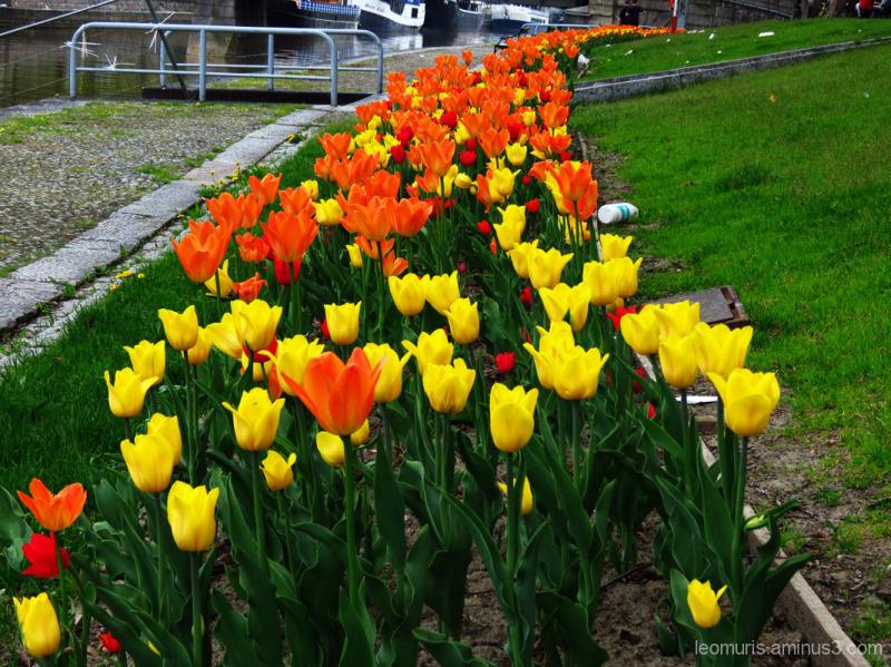 Tulppaanit, tulips
