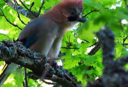 Närhi oksalla - Jay on a branch.