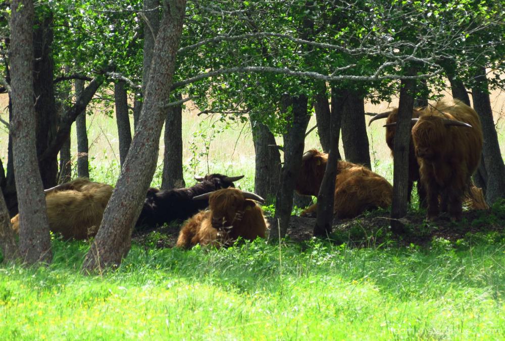 Lehmiä - cows