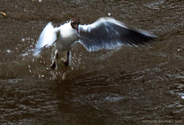 Naurulokki - Black-headed Gull