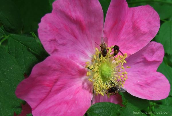 Villi ruusu - wild rose