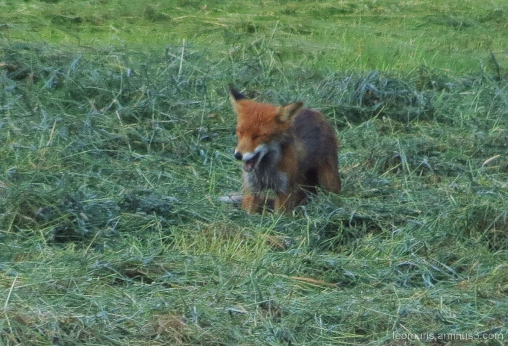 Kettu - Fox
