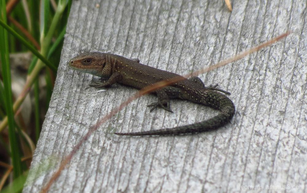 Almost salamander