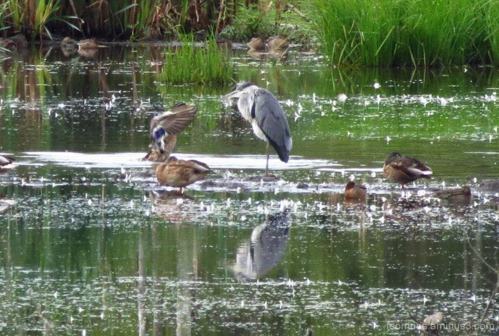 Haikara ja sorsa - Heron and duck.