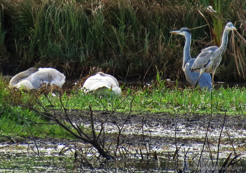 Two heron and two swans