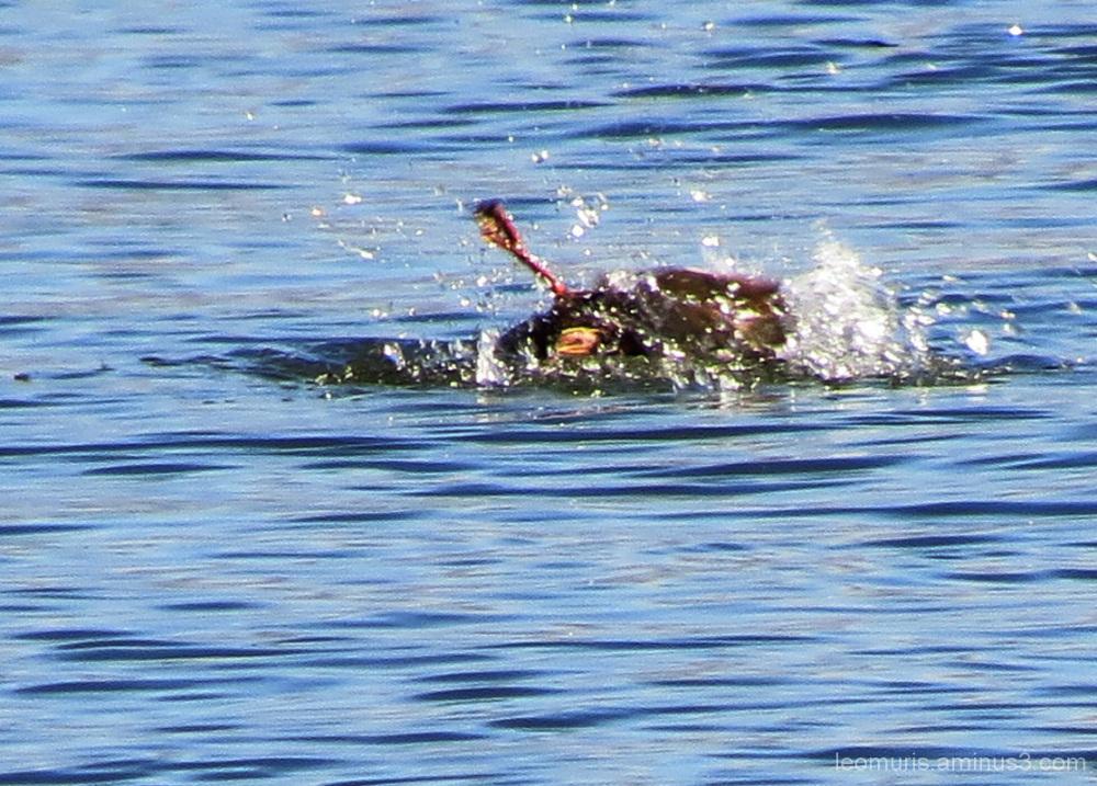 Sorsa - Duck