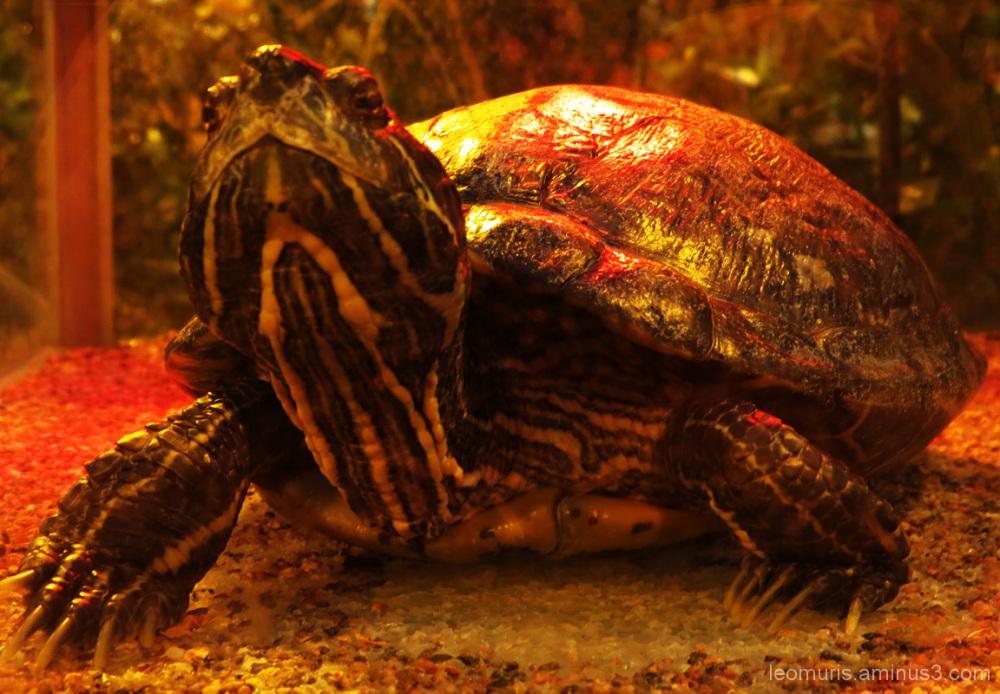 Kilpikonna - Turtle