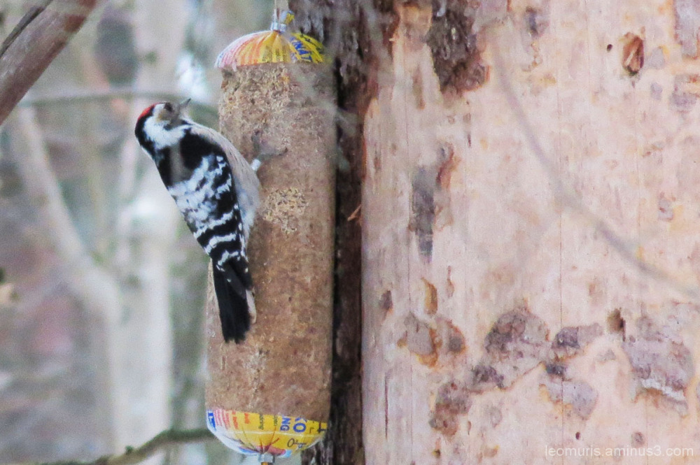 Lesser Spotted Woodpecker