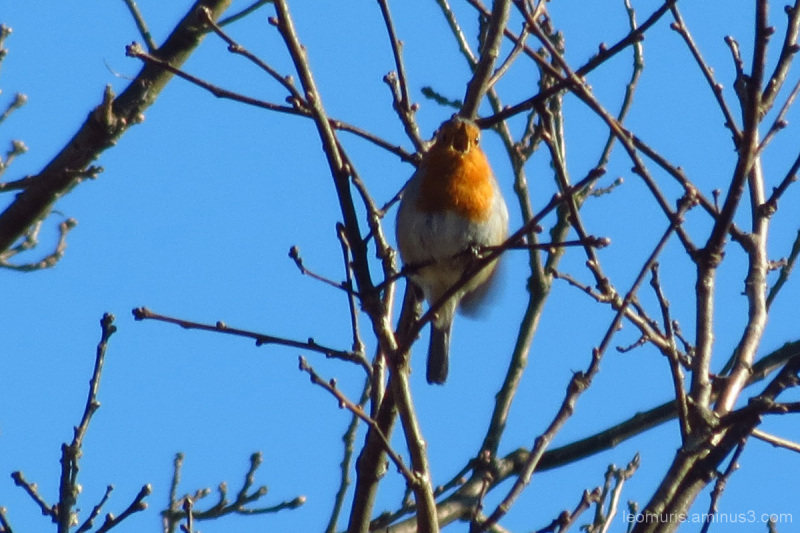 Robin is singing