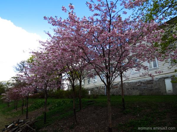 Blooming cherry.
