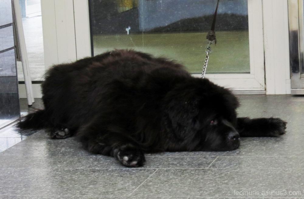 Big dog is resting