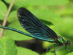 Dragonflye