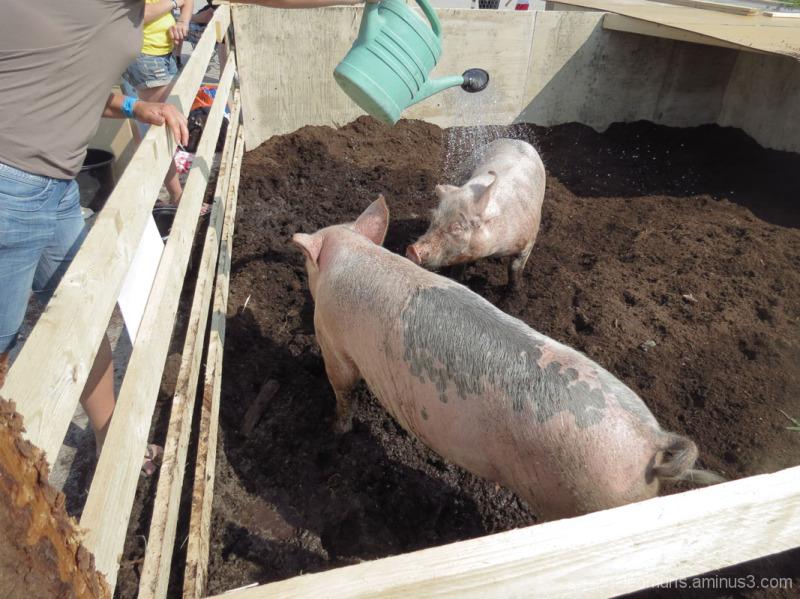 Happy piggies