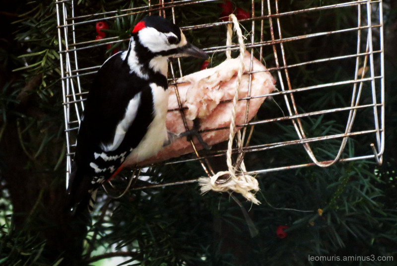Woodpecker is eating