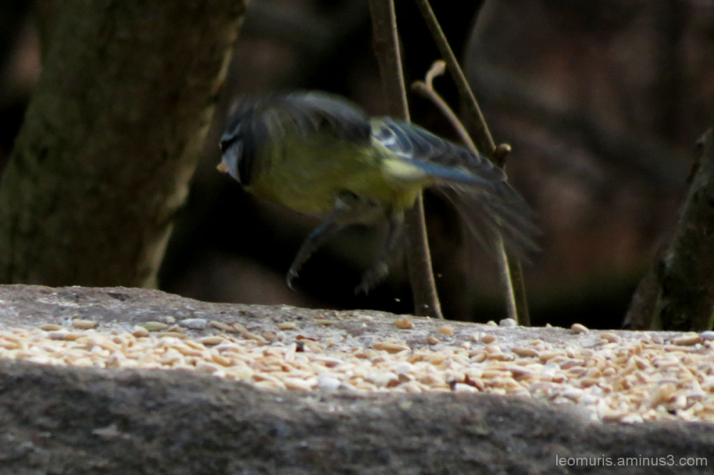 On blue tit