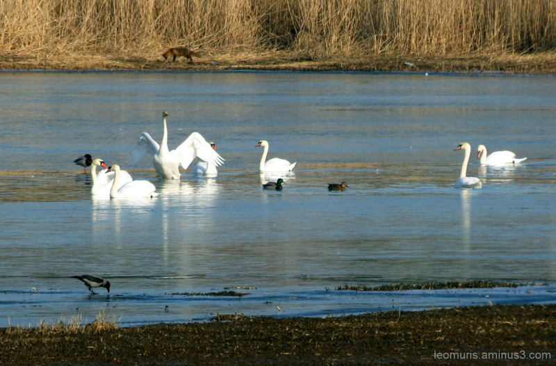 Swans and fox