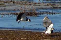 Two lapwings